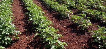 Parcela demostrativa de cultivo de papa, ubicada en la localidad de Acá Carayá Km. 3